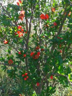 Springtime - the pomegranate trees at their best!