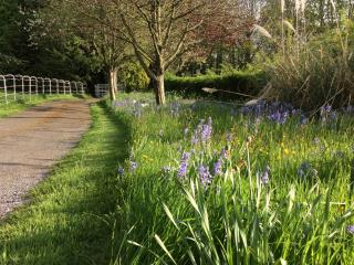 Drive from the Barn, lined with bluebells in May.