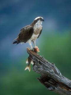 Ospreys regularly fish at the East beach.
