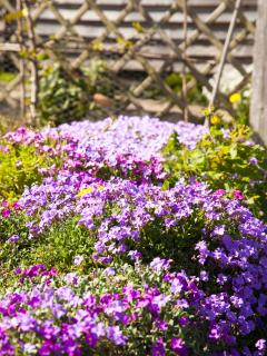 Spring aubretia in our garden.