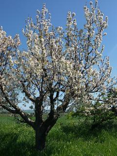 Il nostro ciliegio in fiore.