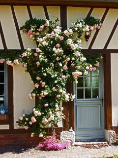 le rosier 'Pierre de Ronsard'