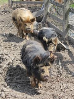 Our 3 little kune kune pigs