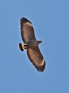 Black hawks can be seen daily as they fly to their nesting area (at the Glenwood Fish Hatchery)
