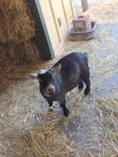 G.G., the pigmy goat is also a fine neighbor.