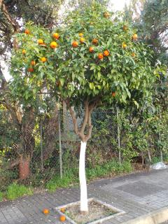 One of the many orange trees at La Reserva de Marbella