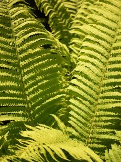 Lush ferns in the Forest