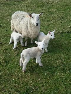 Blondie with her triplet lambs