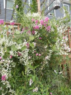 Beautiful heirloom perennial sweet peas are everywhere at The Denmark Stage Stop House