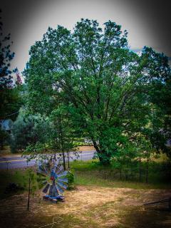 Largest Black Oak on Property