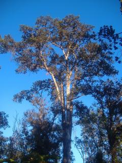 Forest of huge ohia trees