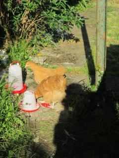 NOUVEAU ! Les poules sont arrivées fin avril dans le jardin