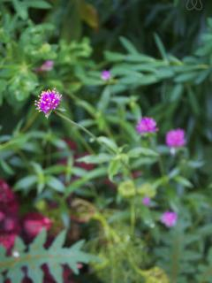 This Panama native, gomphrena,  thrives in our garden