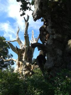 The old oaks, Gog and Magog are 2000 years old.