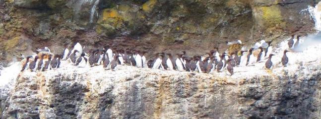 Razorbills (the Scottish penguin) Waternish cliffs