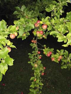 Viele Obstbäume suchen Pflücker!