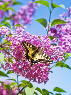The Swallowtail butterfly is often seen in our gardens
