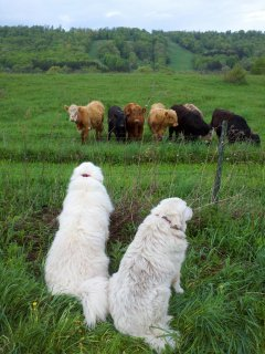 Watch the dogs watch the cows...