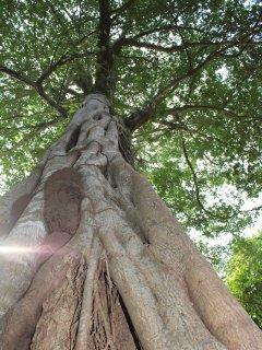 gaint trees