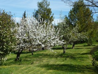 Cherry blossom time in the orchard