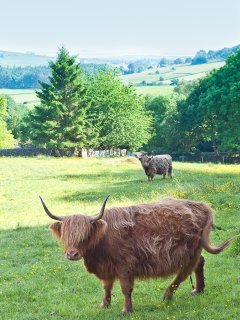 Highland heffer in the field by Cartmel Hill