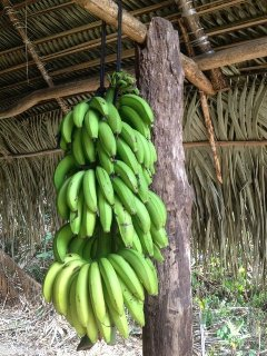 Bananas right from the trees on the property