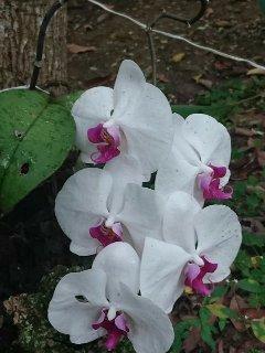 Bella orquídea, una de los muchos tipos que tenemos en Rancho Chanito!