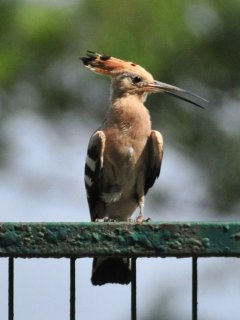 Our hoopoe