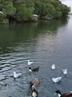 Ducks on the creek-love it when a bit of bread comes their way!