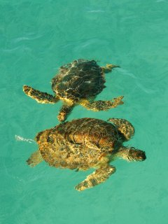 Come & watch the green turtles that swim in Hoopers Bay