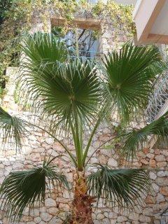 Diese Palme steht beim Nachbarn.