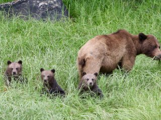 Mother grizzly with her 3 cubs :)