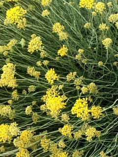 Beautiful immortelle in the garden