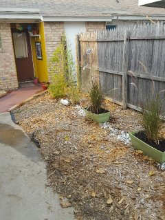 Our bamboo trees are now  thick and hearty and provide a great privacy fence.