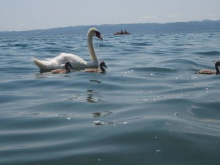 Beautiful swans are often by the beach