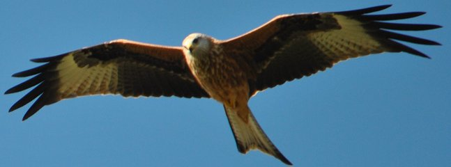 Red kite soaring above Airds