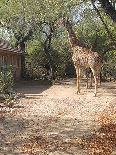 visiting giraffe in drive way