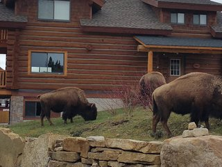 Bison grazing next to cabin