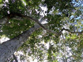 Γιγάντια δέντρα του δάσους βροχής dot το ακίνητο.