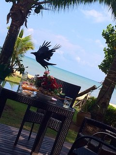 a raven might steal your breakfeast - so watch out !