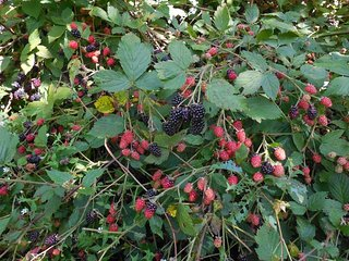 Blackberries to pick in season, around mid to late July.