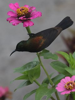 Although a very rare sunbird type, it is a common resident at The Residence Kazungula