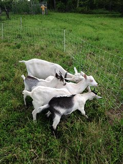 Meet our goats and chickens and experience the homesteading lifestyle.