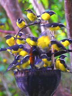 Bananaquits feed on sugar