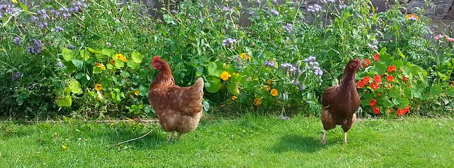 Enjoy collecting fresh eggs every day from our four chickens