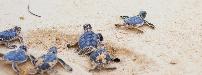 Baby turtles like our beach