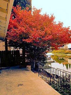 Maple tree in October