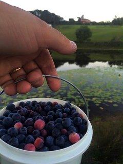 Pick organically grown fresh blueberries in summer