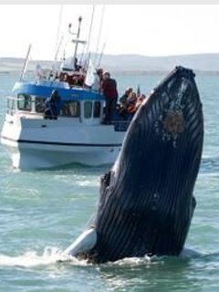 Yes we have Humpback Whales here.