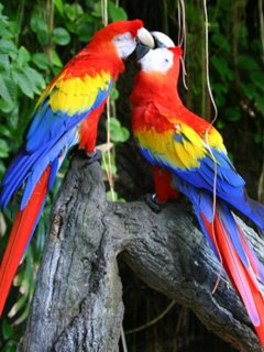 Scarlet Macaws seen in the area
